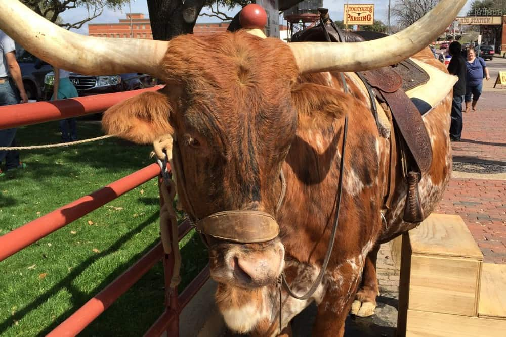 This Longhorn started to tell me an Aggie joke, but dozed off half way through it.